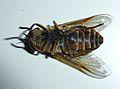 Unidentified Diptera - Les Salles-sur-Verdon 05.JPG