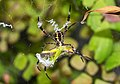 Unidentified spider eating a grasshopper, Bangunjiwo, Bantul 2015-09-19.jpg