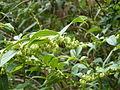 Unknown ericaceous shrub (16691610986).jpg