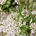 Valeriana officinalis-IMG 0887.jpg