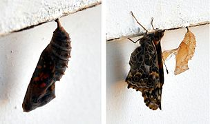 Vanessa cardui - chrysalis and emergence.jpg