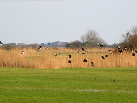 Lapwings in the marshes
