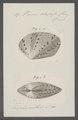 Venus adspersa - - Print - Iconographia Zoologica - Special Collections University of Amsterdam - UBAINV0274 077 12 0027.tif