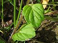 Veronica hederifolia blatt.jpeg