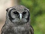 Verreaux's Eagle Owl RWD2.jpg