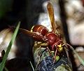Vespa orientalis (KPFC) (09).jpg