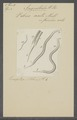 Vibrio aceti - - Print - Iconographia Zoologica - Special Collections University of Amsterdam - UBAINV0274 104 02 0005.tif