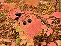 Viburnum acerifolium (22312364534).jpg
