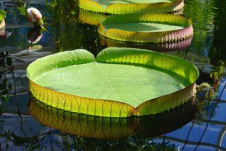 Victoria cruziana - Leaf of a Santa Cruz water lily (Victoria cruziana). Botanical Garden of Helsinki, Finland.