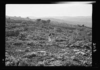 Vineyard & watch tower. Ain Yabrud (Sept. 1937) LOC matpc.16588.jpg