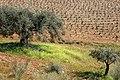 Vineyard in Trás-os-Montes, Foz Côa, Portugal 2007.jpg