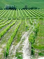 Vineyards in Montefalco.jpg