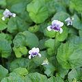 Viola hederacea-IMG 7155.jpg