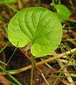 Viola palustris lapas.JPG