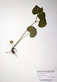 Viola pubescens var. pubescens BW-1979-0612-0747.jpg