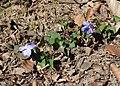 Viola riviniana kz04.jpg