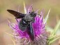 Violet Carpenter Bee (43722734510).jpg