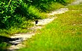 Virginia Rail (Rallus limicola) - newborn chick - running-hopping along (9009140717).jpg