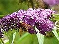 Volucella zonaria sur buddleia 1.jpg