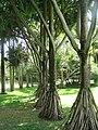 Vue d'une allée de vacoas du jardin de Pamplemousses (2009).jpg