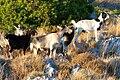 Vuno Albania goats 2.jpg