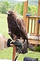 WR - Golden Eagle 13 (5761953876).jpg
