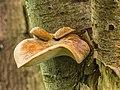 Waaierbuisjeszwam (Polyporus varius) op een dode lijsterbes (Sorbus). Locatie. Natuurterrein De Famberhorst. 08-07-2019. (d.j.b). 01.jpg