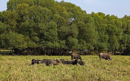 Wasserbüffel im Naturschutzgebiet Lainsitzniederung 2019-07.jpg