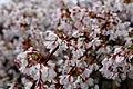 Weeping-cherry-spring - West Virginia - ForestWander.jpg