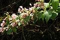 Weigela hortensis タニウツギ 白髪岳山麓(篠山市) DSCF1070.JPG