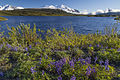 Welcome to the April -conservationlands15 Social Media Takeover- Arctic Lupine in Alaska (17160864555).jpg