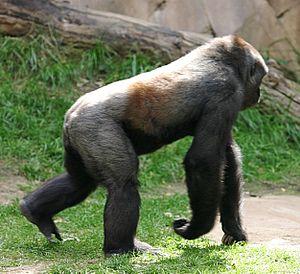 Knuckle-walking - A western lowland gorilla knuckle-walking.