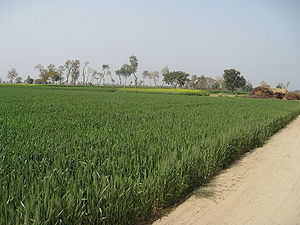 Wheat Fields in Punjab, Pakistan