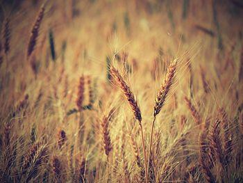 Wheat a FLORA.jpg