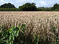 Wheatfield near Cornish Farm - geograph.org.uk - 959633.jpg