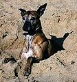 Whippet-brindle-male-01.jpg