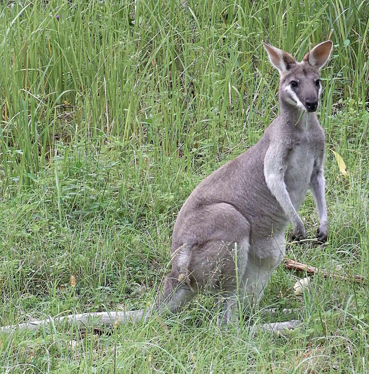 Whiptail wallaby wikipedia - Image kangourou ...