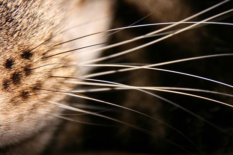 File:Whiskers.jpg