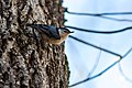 White-breasted nuthatch (33056924225).jpg