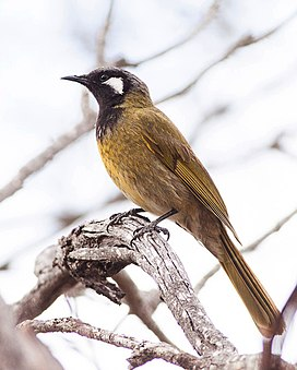 White-eared Honeyeater by Ron Knight.jpg
