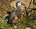 White-faced Heron, Christchurch, NZ (6193312744).jpg