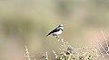 White-fronted Chat (Epthianura albifrons) (31026721310).jpg