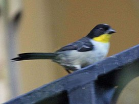 White-naped Brush-Finch RWD.jpg