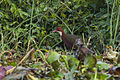 White-throated Rail - Masoala - Madagascar MG 0548 (15285572081).jpg