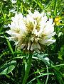White Clover (Trifolium repens) (3657219961).jpg