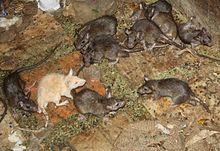 rat et souris dans la culture wikip 233 dia