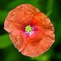 Wild Flower (19694333232).jpg