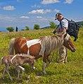 Wild Ponies at Grayson Highlands State Park (7494977530) (2).jpg