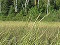 Wild rice 4 (6129847311).jpg