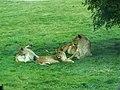 Woburn Safari Park - Lions - geograph.org.uk - 908995.jpg